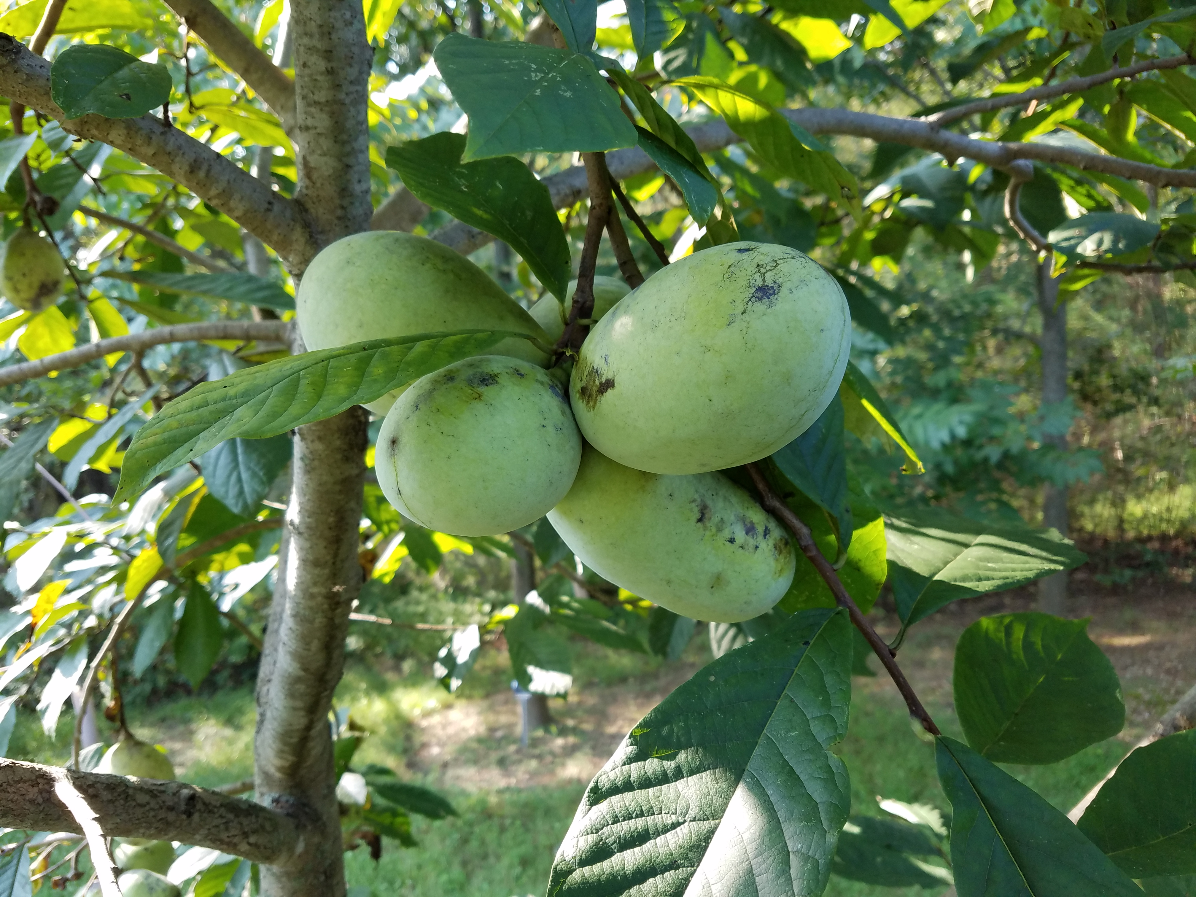 Summer Delight pawpaws<br> on tree