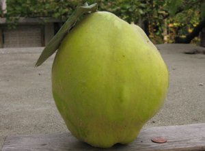 Giant Quince Fruit