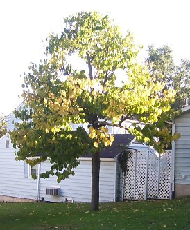 Kentucky Champion Pawpaw Tree in Fall
